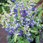 Annual Lupines