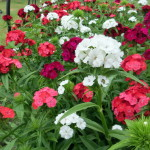 Sweet Dianthus