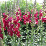 Fall Snapdragons