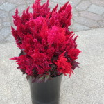 Red and Wine Celosia